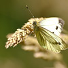 Green Veined White - Olympus E3, Zuiko 70-300mm, 1/1000 sec at f6.3, ISO 320