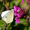 Large White - Olympus E3, Zuiko 70 - 300mm, 1/640 sec at f6.3, ISO 200
