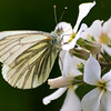Green-veined White - Olympus E3, Zuiko 70 - 300mm, 1/200 sec at f6.3, ISO 200