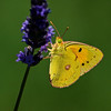 Clouded Yellow - Olympus E3, Zuiko 70-300mm, 1/1600 sec at f7.1, ISO 200