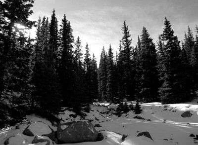 Black & White Pines