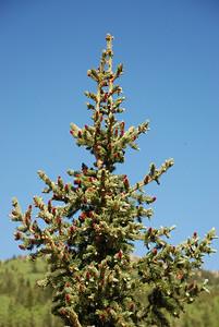 New Pine Cones on Spruce Tree