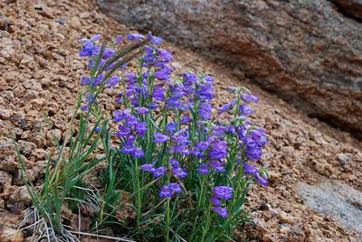 Wildflowers on Pikes Peak South Slope