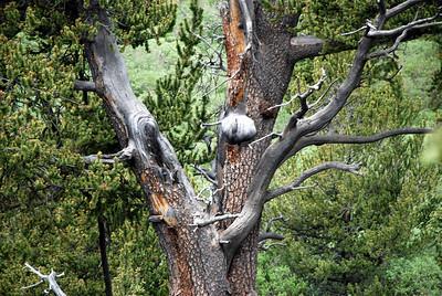 Old Tree on Pikes Peak South Slope
