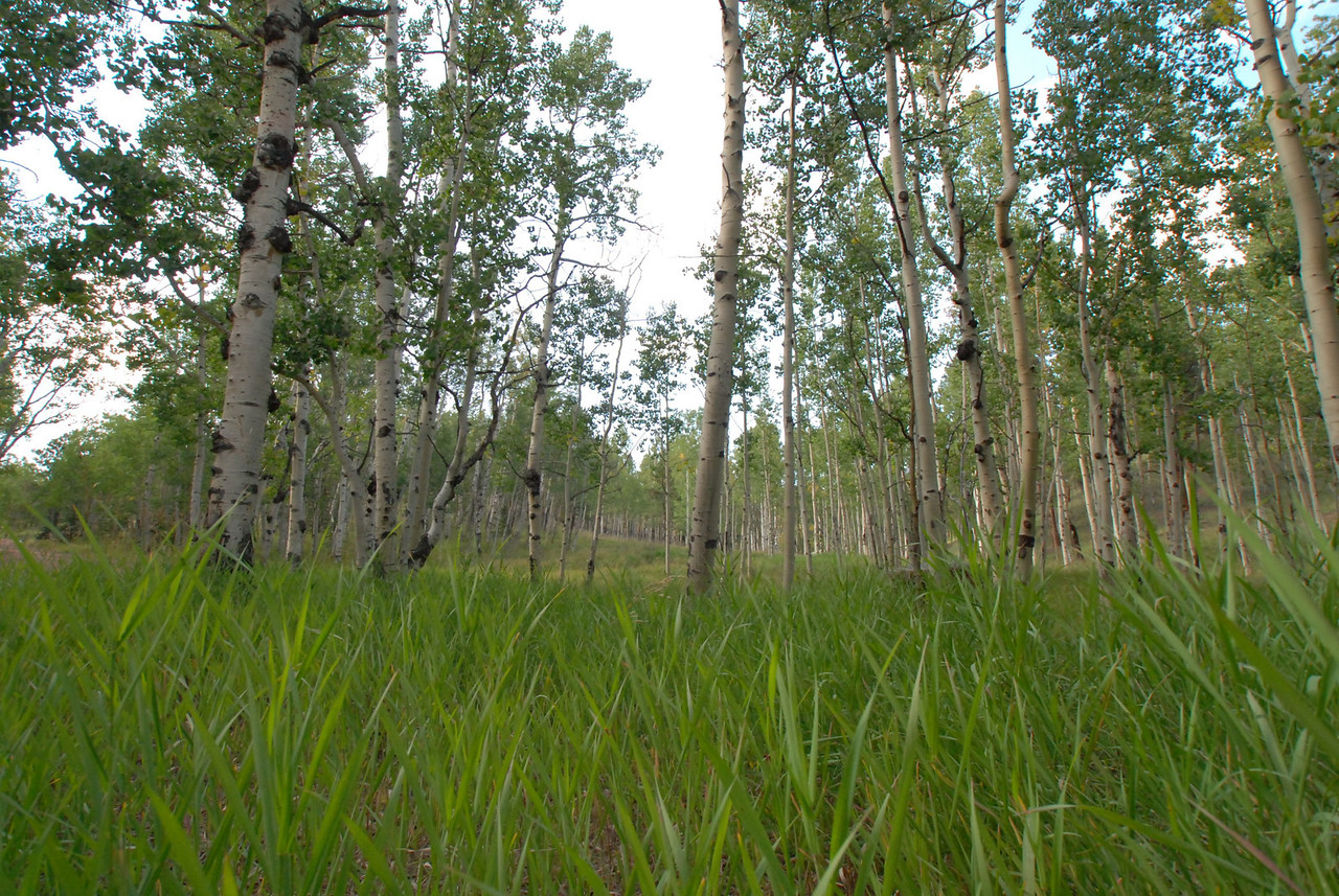 Tall grass in a field of Aspens.