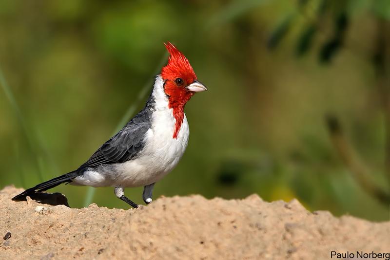 Paroaria coronata<br /> Cardeal<br /> Red-crested Cardinal<br /> Cardenal - Tie guasu paroarâ