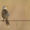 Emberizoides ypiranganus<br /> Canário-do-brejo<br /> Lesser Grass-Finch<br /> Coludo chico - Havía kapi'i