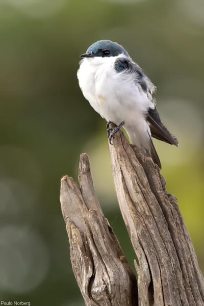 Tachycineta albiventer<br /> Andorinha-do-rio<br /> White-winged Swallow<br /> Golondrina ala blanca - Tapendy