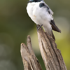 Tachycineta albiventer<br /> Andorinha-do-rio<br /> White-winged Swallow<br /> Golondrina ala blanca - Tapendy