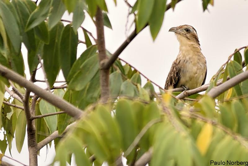 Tapera naevia<br /> Saci<br /> Striped Cuckoo<br /> Crespín - Chochi