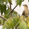 Tapera naevia<br /> Saci<br /> Striped Cuckoo<br /> Crespín - Chochi