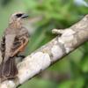 Agelaioides badius<br /> Asa-de-telha<br /> Bay-winged Cowbird<br /> Músico - Chopî pytâ