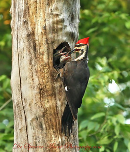 The male woodpecker is about to feed the male chick . You can see him moving right into it's mouth. Each adult is still regurgitating the food for the babies and making a stop at the nest about every 50 minutes, so that means two feedings about every hour.