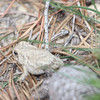 pygmy forest toad