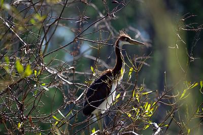 juvenile tricolor Heron