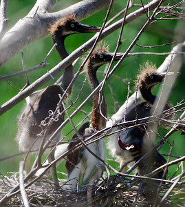 Juvenile Tri color Herons