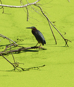 Green Heron at Ibis pond