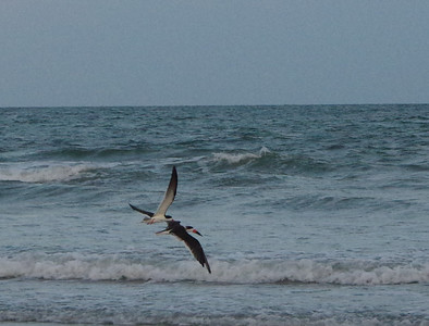 black Skimmers at Isle o Palms