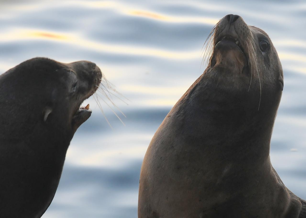 California sea lions fighting
