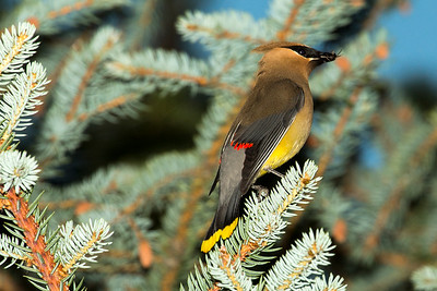 Cedar Waxwing at Lewis and Clark Caverns State Park in Jefferson County, Montana.