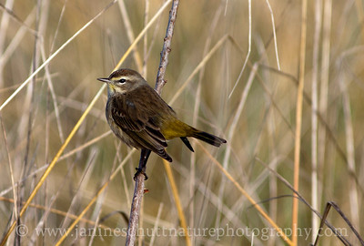 Palm Warbler at Damon Point State Park in Ocean Shores, Washington.  A rare find!  Photo taken on Dec. 19, 2011.