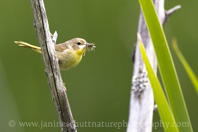 Female Common Yellowthroat along the Hummocks Trail at the Mt. St. Helens National Volcanic Monument in Washington.