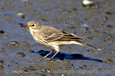 American Pipit with a termite that it snatched out of the air, near Olympia, Washington.
