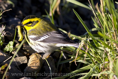 Townsend's Warbler with a prized catch.  Photo taken at the Julia Butler Hansen Refuge for the Columbian White-tailed Deer near Cathlamet, Washington.