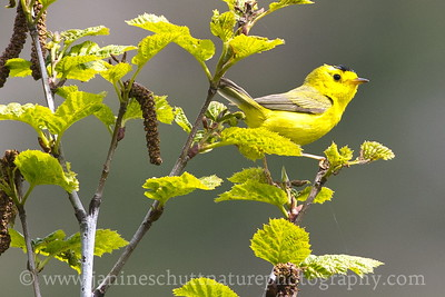 Male Wilson's Warbler in an alder tree along the Norway Pass Trail at the Mt. St. Helens National Volcanic Monument in Washington.