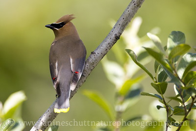Cedar Waxwing at the Mt. St. Helens National Volcanic Monument in Washington.  Photo taken by Meta Lake.