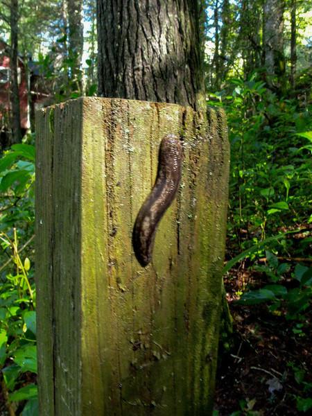 It's a slug not a leach.
