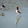 Dancing Oyster Catchers