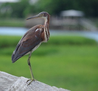 juvenile Tri Color Heron  posing  about two feet away
