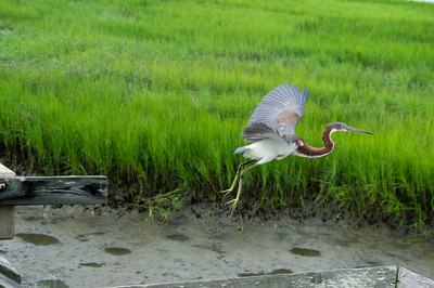 Tri color Heron Juvenile