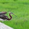 Tri color Heron Juvenile