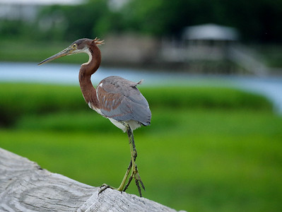 Juvenile Tri color Heron