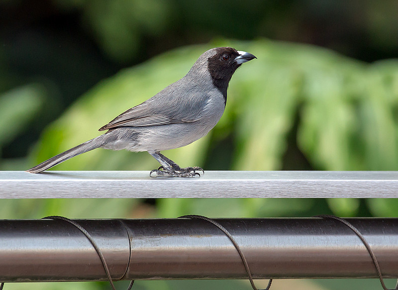 Black-faced Tanager