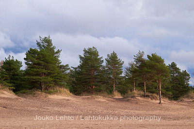 Pines on the beach - Yyteri scapes