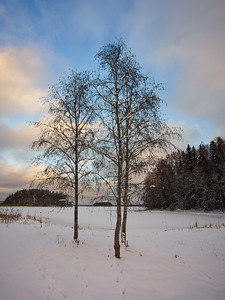 Alnus winter