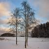 Alnus winter
