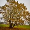Salix. Siuro