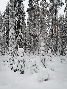 Alisenjarvi forest in winter