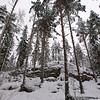 Talvinen mäntymetsä- Pine forest winter