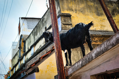 Goat on a roof. Trichy, South India