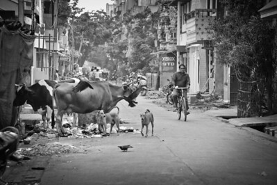 Indian Chaos (cow, crows, stray dogs and bikes...) Pondicherry, South India