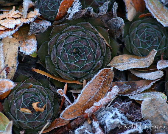 Cluster of sempervivum, commonly known as hens and chicks, half covered in frosted fall foliage. Late autumn frost in November.  License this photo on Getty Images  © Rob Huntley