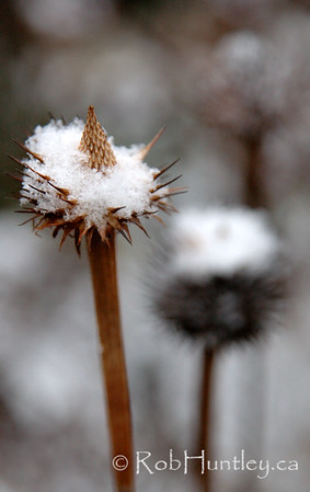 Dusting of snow on what's left of a dried Echinacea seed head (Purple coneflower - Echinacea purpurea).  © Rob Huntley