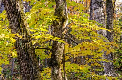Autumn in a Quebec forest.