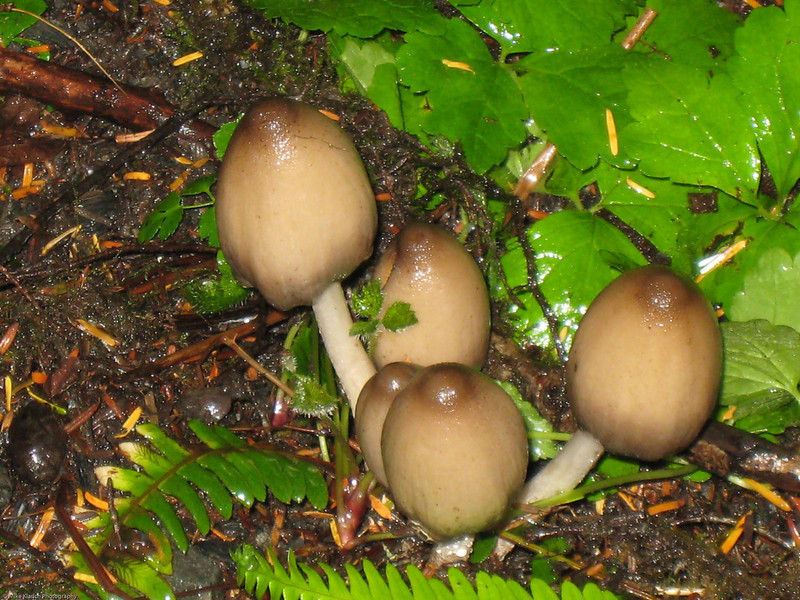 Alaskan Rain Forest Mushrooms-0310 by Kelly<br /> They look like pictures I've seen in National Geographic when I was a boy.  Wink, Wink, Nudge, Nudge!