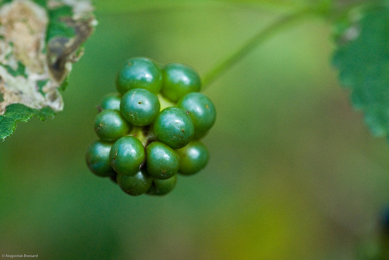Cocoa FL berries.